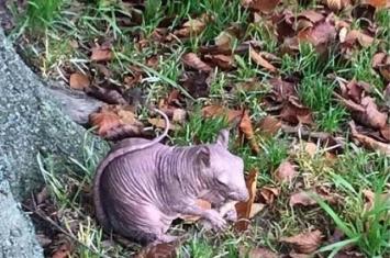 英国公园惊现全身无毛的松鼠