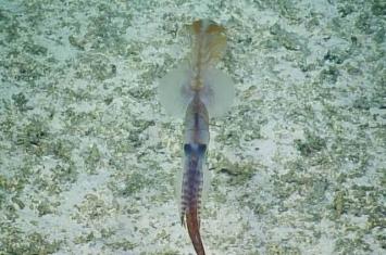 美国生物学家首次在太平洋海底拍到极罕见的长尾深海鱿鱼(头足纲软体动物曼氏糙乌贼)