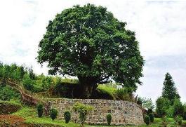世界上最大的茶树,树龄已超过3200年(茶树王)