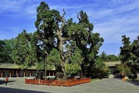 中国现存最古老的树,与古中国一同产生(树龄5000余年)