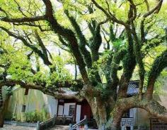 """世界上最稀有的树,全球仅剩一棵被誉为""""地球之子""""(普陀鹅耳枥)"""