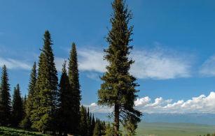 世界上最长寿的树,瑞典一颗云杉的树龄有9550岁(还在继续生长)