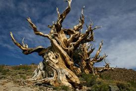 世界最老的树15亿年,历经了无数风霜雨雪(有待考证)