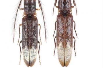 中国云南发现亚洲首例发光叩甲——Sinopyrophorus schimmeli