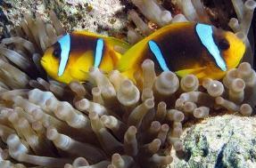 世界上最小的观赏鱼,依靠0.1毫米刷新世界纪录(仅长7.9毫米)