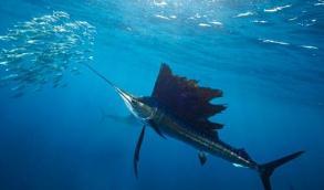 世界上游泳最快的鱼,速度可达96千米/小时(旗鱼)